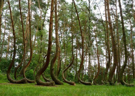 چشم انداز جنگل های رقصان روسیه