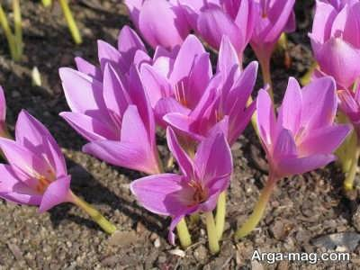 چگونگی پرورش گل حسرت