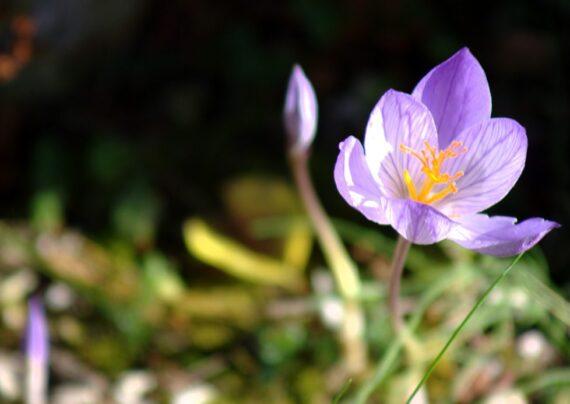 آشنایی با نحوه پرورش گل حسرت