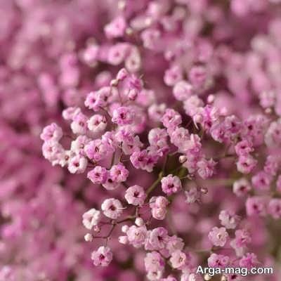 اصول کاشت گل عروس