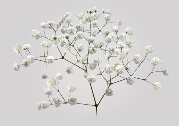 آشنایی با نحوه پرورش گل ژیپسوفیلا