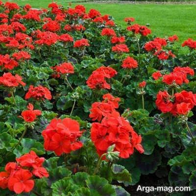 انشا در مورد گل شمعدانی