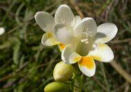 آشنایی با نحوه پرورش گل فرزیا
