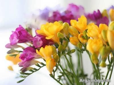 چگونگی پرورش گل فرزیا