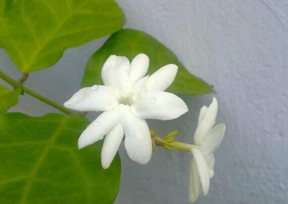 آشنایی با نحوه پرورش گل یاس رازقی
