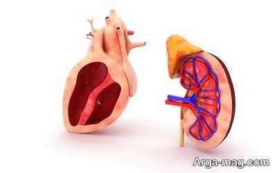 ساختار و آناتومی کلیه