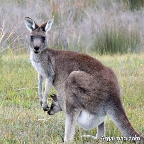 تصویر زیبا کانگورو استرالیایی