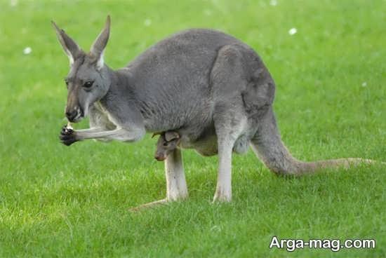 عکس کانگورو های جالب در استرالیا