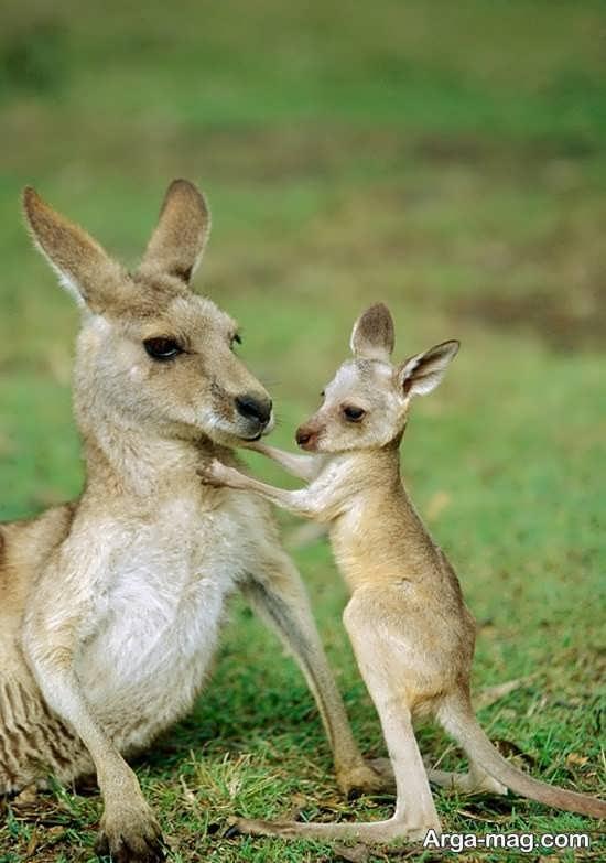عکس بامزه و جالب کانگورو و بچه اش
