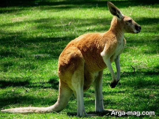 تصویر باحال از کانگوروها