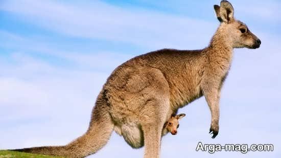 عکس بامزه و زیبا کانگورو
