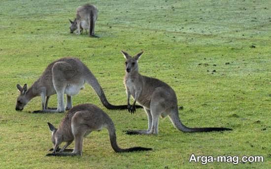 انواع جالب عکس کانگورو