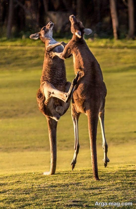 انواع جدید صاویر زیبا کانگورو