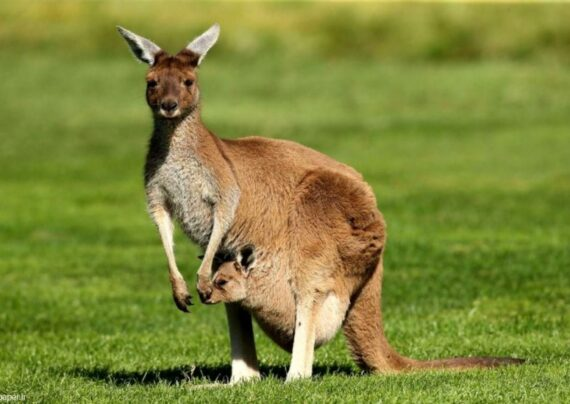آشنایی با انواع عکس کانگورو