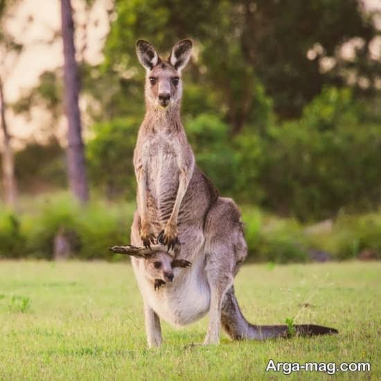 عکس کانگورو های بامزه