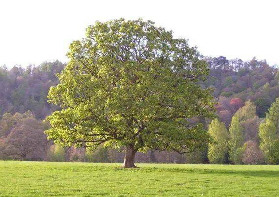 آشنایی با نحوه کاشت درخت چنار