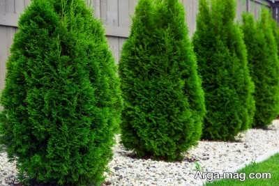 چگونگی کاشت درخت سرو