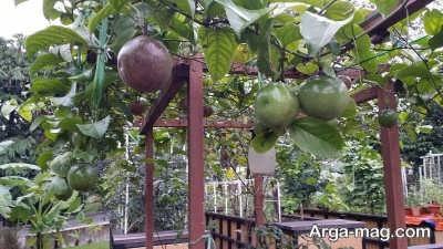مزیت های میوه پشن فروت