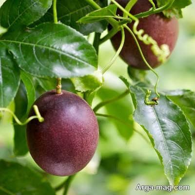 روش های برداشت میوه پشن فروت