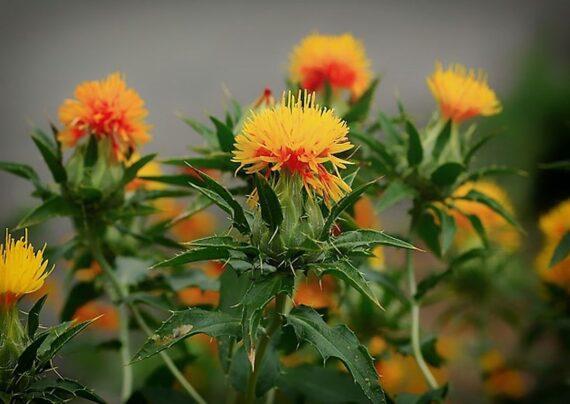 آشنایی با نحوه پرورش گیاه گلرنگ