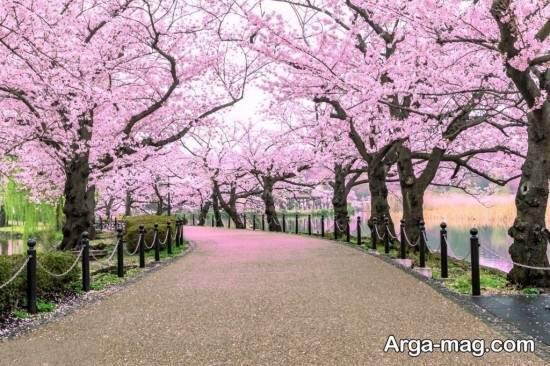 عکس فصل بهار با شکوفه های صورتی