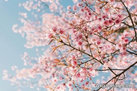 عکس شکوفه های زیبا در فصل بهار