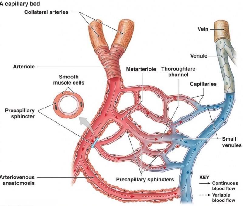 فرق بین دو رگ مهم در بدن چیست؟