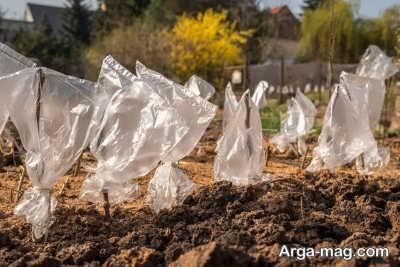 مراحل پیوند زدن درختان سیب