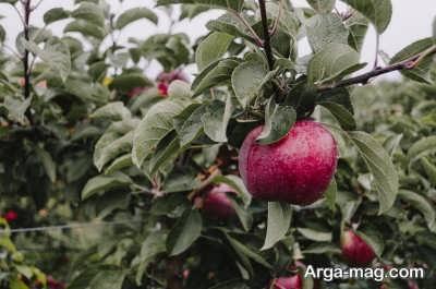 چگونگی پیوند درخت سیب