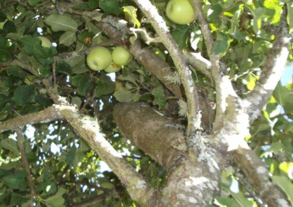 آشنایی با نحوه پیوند درخت سیب