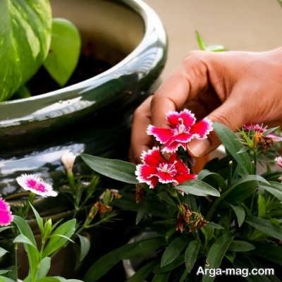 آبیاری لازم برای بستر گیاه قرنفل