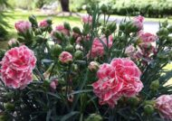 آشنایی با نحوه پرورش گل بوقلمون
