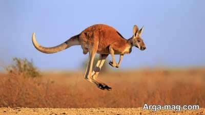 ویژگی های حیوان کانگورو