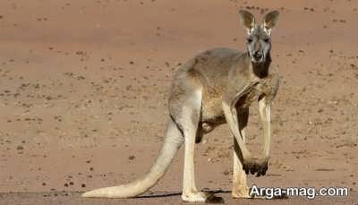 آشنایی با انواع کانگوروها
