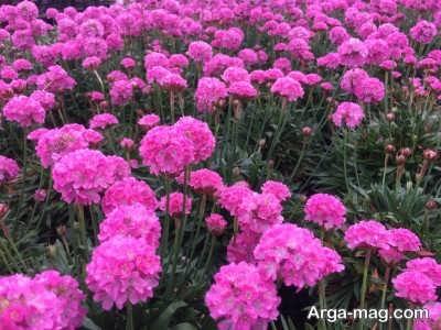 چگونگی پرورش گل آرمریا