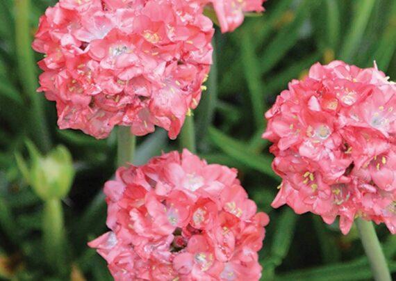 آشنایی با نحوه پرورش گل آرمریا