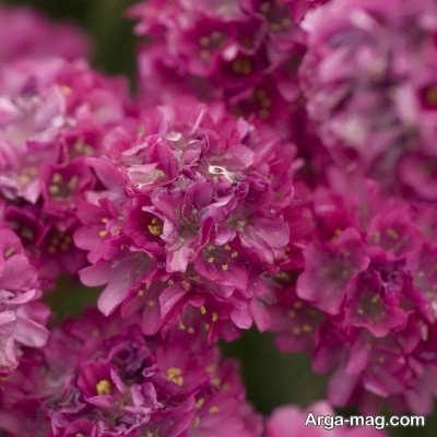 ویژگی های گل آرمریا