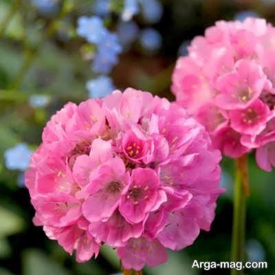 شرایط لازم برای کاشت گل آرمریا