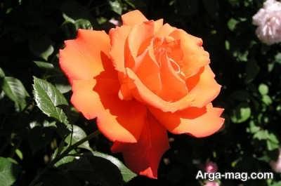 نحوه پرورش گل رز فرانسوی