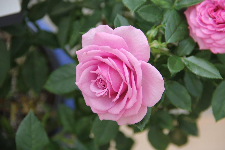 آشنایی با نحوه پرورش گل رز فرانسوی