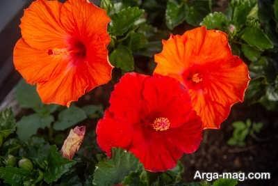 چگونگی پرورش گل هیبیسکوس