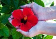 آشنایی با نحوه پرورش گل هیبیسکوس