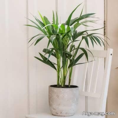 چگونگی آبیاری گیاه کنتیا