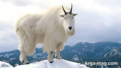 خصوصیات حیوان بز کوهی
