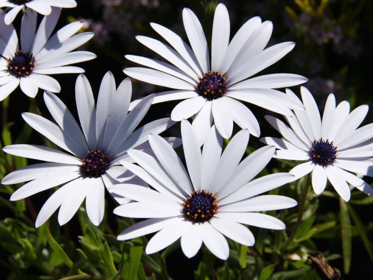 آشنایی با نحوه نگهداری گل استئوسپرموم