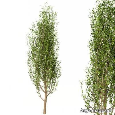 مزایای پرورش درخت صنوبر
