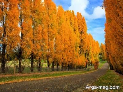 شرایط لازمب رای پرورش درخت صنوبر