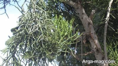 اصول پرورش درخت تسبیح