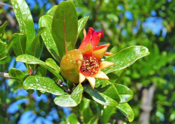 آشنایی با علل شکوفه ندادن درخت انار