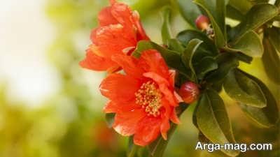 شرایط لازم برای میوه دهی درخت انار